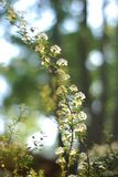 Fondo texturizado Bush floreciente de las flores blancas de la fragancia de la primavera pequeño fotografía de archivo libre de regalías
