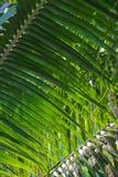 Textura de hoja de palma Fotos de archivo