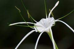 Fondo tropical blanco 1 de la flor Fotografía de archivo