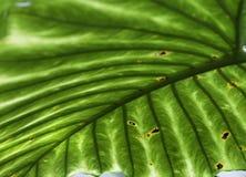 Fondo tropical de la textura del verde del detalle de la hoja Fotografía de archivo