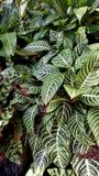 Fondo tropical de las hojas Fotografía de archivo