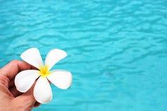 Fondo tropical del poolside de la flor del Frangipani con la imagen común de la imagen de la fotografía de la foto del espacio de fotos de archivo