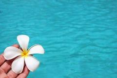 Fondo tropical del poolside de la flor del Frangipani con la imagen común de la imagen de la fotografía de la foto del espacio de foto de archivo libre de regalías