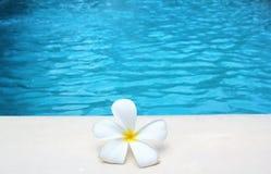 Fondo tropical del poolside de la flor del Frangipani con la imagen común de la imagen de la fotografía de la foto del espacio de imágenes de archivo libres de regalías