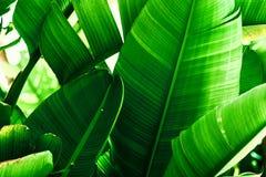 Fondo tropical del verdor de la naturaleza Matorral de palmeras con las hojas grandes Color verde esmeralda vibrante saturado foto de archivo libre de regalías