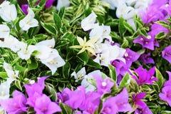 Fondo tropicale alto vicino della natura del fiore della buganvillea immagine stock