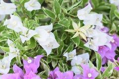 Fondo tropicale alto vicino della natura del fiore della buganvillea immagine stock libera da diritti