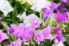 Fondo tropicale alto vicino della natura del fiore della buganvillea fotografie stock libere da diritti