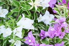 Fondo tropicale alto vicino della natura del fiore della buganvillea fotografia stock libera da diritti