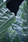 Fondo tropicale delle foglie di verde blu Fotografia Stock