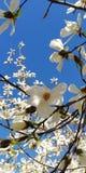 Fondo Un ramo della molla con i bei fiori della magnolia contro il cielo blu fotografia stock libera da diritti