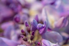 Fondo vago astratto con il wistaria di fioritura nella primavera immagini stock libere da diritti