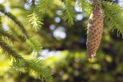 Fondo vago verde della trementina dell'oleoresina del cono del pino fotografia stock