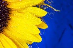 Fondo variopinto del copyspace del fiore Macro colpo della fioritura gialla del girasole con le gocce di acqua fotografia stock libera da diritti