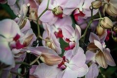 Fondo variopinto delle orchidee porpora Serra delle orchidee fotografia stock libera da diritti