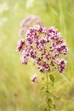 Fondo variopinto di fioritura dell'origano dell'erba Fotografia Stock