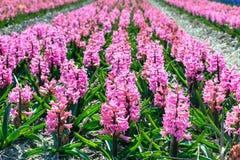Fondo variopinto di panorama del campo colourful del giacinto della molla dell'Olanda Fotografie Stock