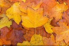 Fondo variopinto e luminoso fatto delle foglie di autunno cadute Concetto di autunno Fotografia Stock Libera da Diritti