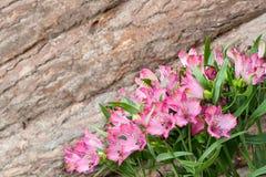 Fondo variopinto luminoso di alstroemeria rosa Fotografie Stock Libere da Diritti