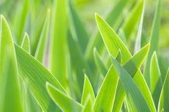 Fondo verde abstracto de las hojas de los tulipanes Fotos de archivo libres de regalías