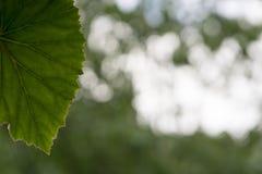Fondo verde bianco del bokeh con una prateria contornata venata palmate immagini stock