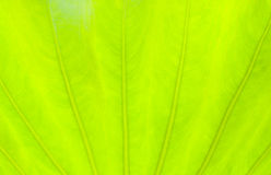 Fondo verde chiaro della natura dell'estratto della foglia Fotografie Stock Libere da Diritti