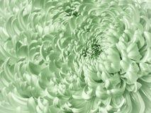 Fondo verde chiaro floreale Primo piano blu del crisantemo del fiore Petali del crisantemo immagini stock