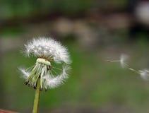 Fondo verde con el diente de león de la primavera Imagenes de archivo