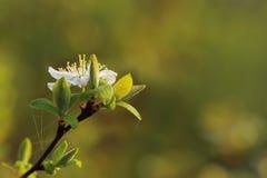 Fondo verde con la flor del endrino Fotos de archivo libres de regalías