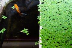 Fondo verde con la lenteja de agua fotografía de archivo libre de regalías