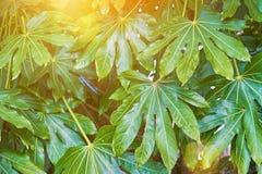 Fondo verde con las hojas tropicales imágenes de archivo libres de regalías