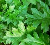 Fondo verde con las nuevas hojas de la planta del Acanthus fotos de archivo libres de regalías