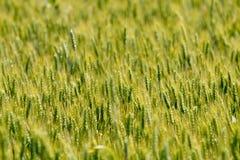 Fondo verde de campo de trigo Imágenes de archivo libres de regalías