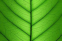 Fondo verde de estructura de célula de la hoja - textura macra Foto de archivo libre de regalías