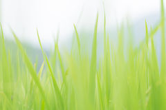 Fondo verde de la falta de definición de la hoja del arroz Foto de archivo
