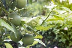 Fondo verde de la fruta cítrica Fotografía de archivo