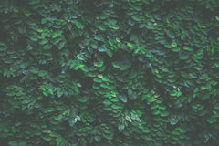 Fondo verde de la hiedra fotos de archivo