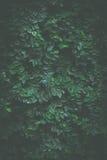 Fondo verde de la hiedra foto de archivo libre de regalías
