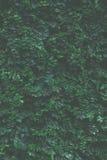 Fondo verde de la hiedra imagen de archivo libre de regalías