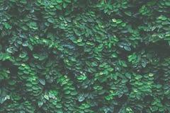 Fondo verde de la hiedra imagen de archivo