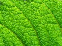 Fondo verde de la hoja. Fotos de archivo