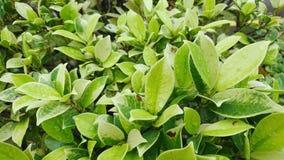 Fondo verde de la hoja con el waterdrop Foto de archivo