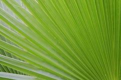Fondo verde de la hoja de la palma Fotografía de archivo libre de regalías