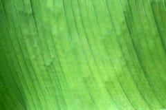 Fondo verde de la hoja del plátano fotografía de archivo