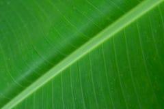 Fondo verde de la hoja del plátano con textura linear foto de archivo libre de regalías