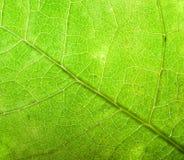 Fondo verde de la hoja, primer. Fotografía de archivo