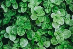 Fondo verde de la planta de la menta Imagenes de archivo