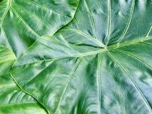Fondo verde de la textura de la hoja Fotos de archivo libres de regalías