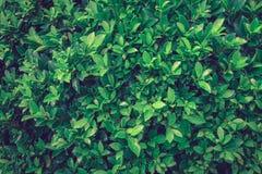 Fondo verde de la textura de la pared de la hoja Imágenes de archivo libres de regalías