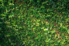 Fondo verde de la textura de la pared de la naturaleza de la vid de la hiedra de la hoja Foto de archivo